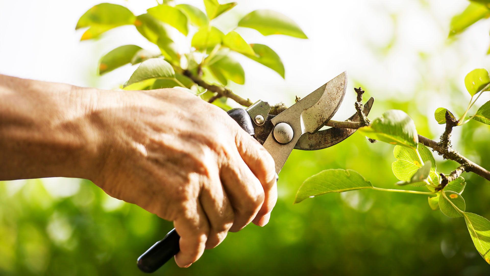 Rez ovocných stromčekov v záhrade