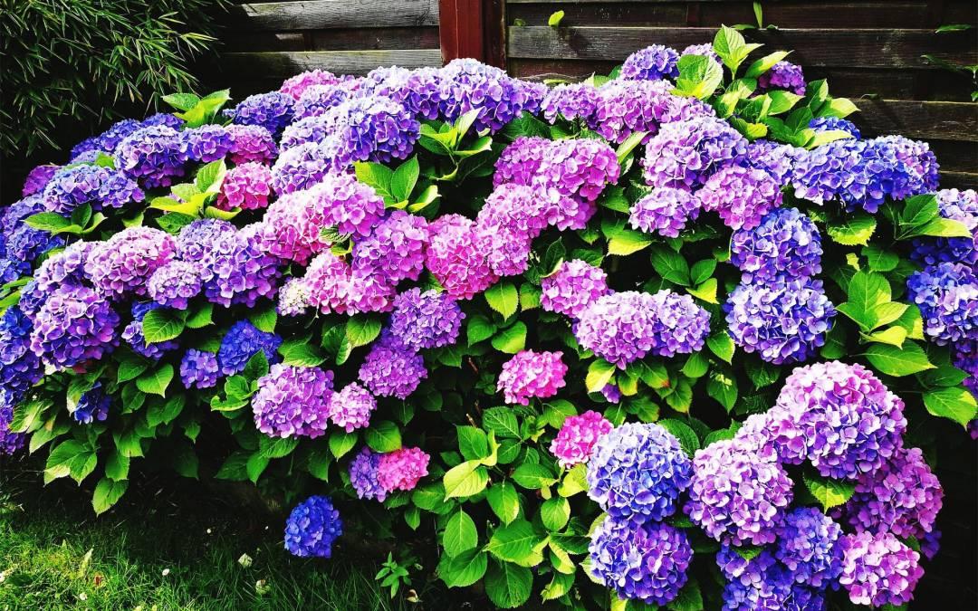 Hortenzie – tajomstvo pestovania