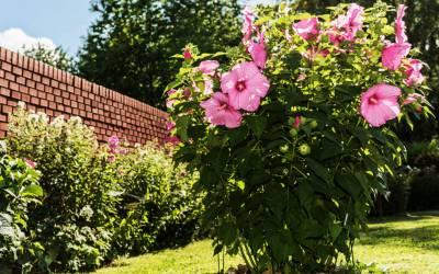 Ibištek – pestovanie pre bohaté kvitnutie