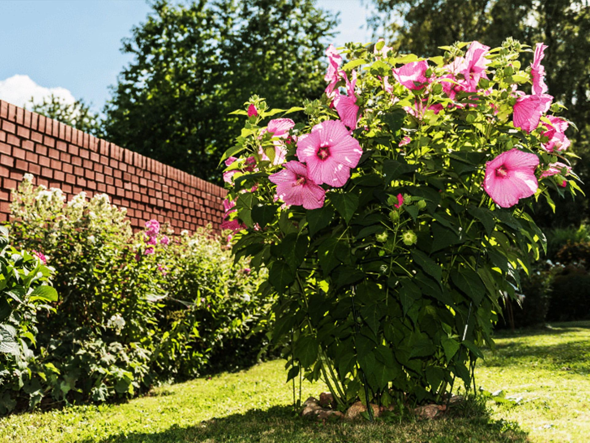 Ibištek v záhrade