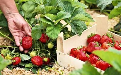 Jahody na sadenie