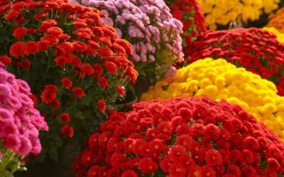 Chryzantémy – jesenné nápady